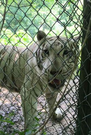 Mickey the white tiger is cared for by the staff of the Exotic Feline Rescue Center in Center Point, In. White tigers are produced by crossing Siberian and Bengal tigers, and are not often born in the wild. Captive white tigers are the product of selective breeding, which often leads to the inbreeding of the tigers. Mickey is a product of inbreeding and is severely crosseyed because of it.